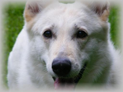 bewegung welpe weißer schäferhund
